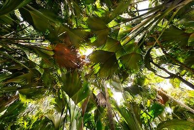 Coco de Mer palms
