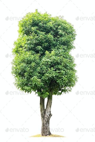 green magnolia denudata tree