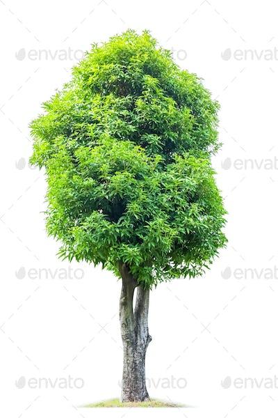 big magnolia denudata tree