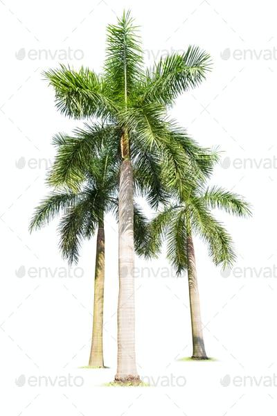 three palm trees isolated