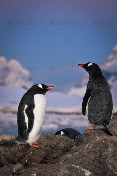 Two penguins talking