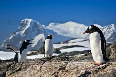 Three penguins dreaming