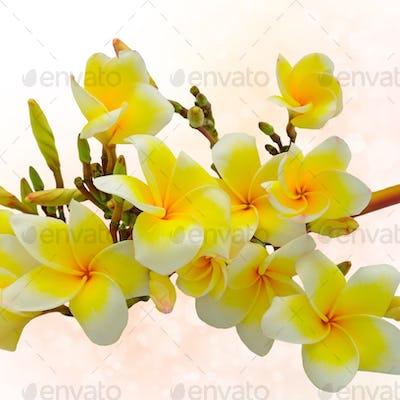 yellow plumeria with bokeh