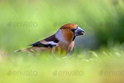 Hawfinch in a lawn