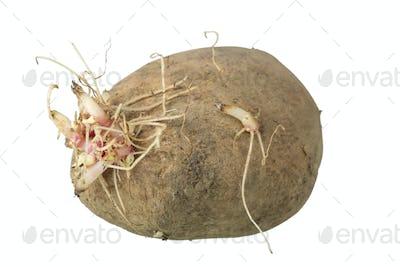 Old potatoes
