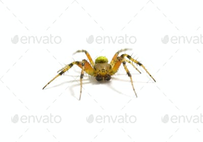 spider isolated