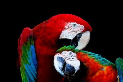 Greenwinged Macaw and Harlequin Macaw