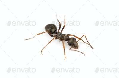 big forest ant