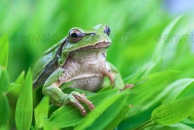 tree_frog