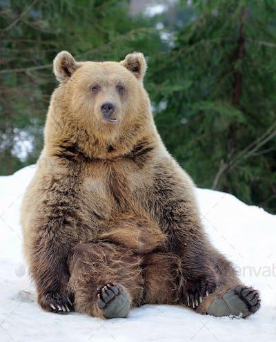 Bear in winter