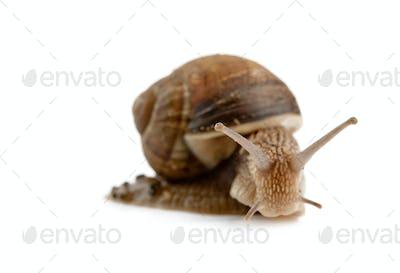 head snail isolated