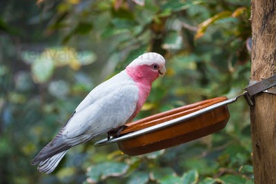 Galah cockatoo  is a common parrot of Australia