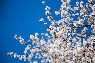 beautiful almond blossoms