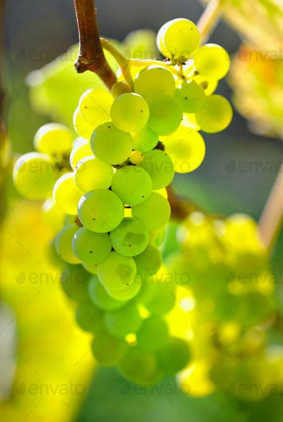 Green grapes on vine over bright background
