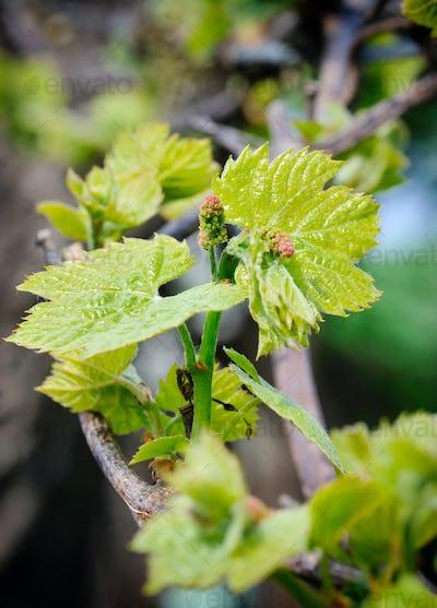 Grape vine shoot with buds