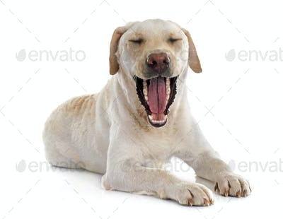 labrador retriever jaw