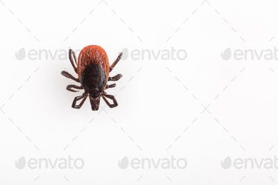 Tick - parasitic arachnid blood-sucking