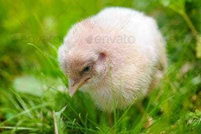 Little chicken on the grass