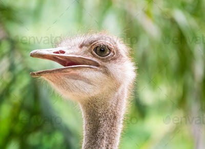 The open mouth ostrich