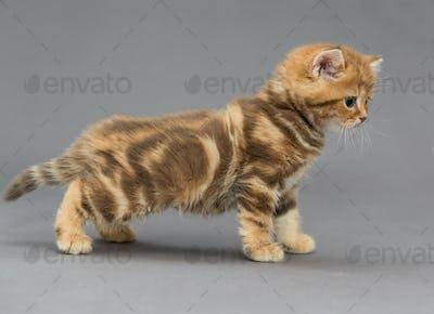 Little British tabby kitten marble colors