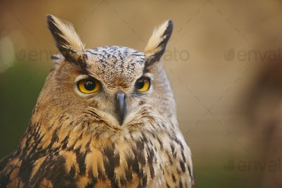 Owl with yellow eyes and warm background in Spain. Horizontal