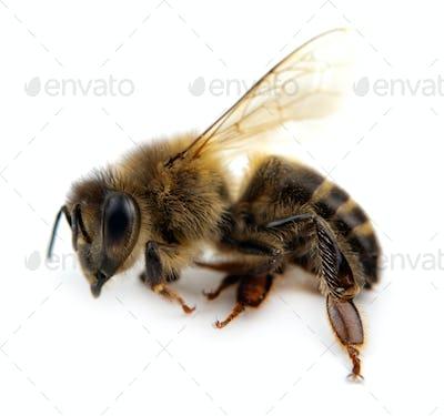 bee isolated