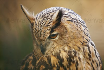Owl with yellow eyes and warm tone background in Spain. Horizontal