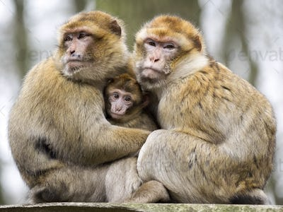 Berber monkeys with baby