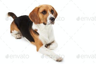 Studio Portrait Of Beagle Lying Dog Against White Background
