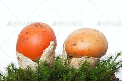 Amanita Caesarea mushrooms with moss