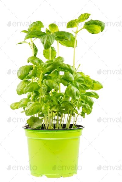 Isolated fresh basi plant
