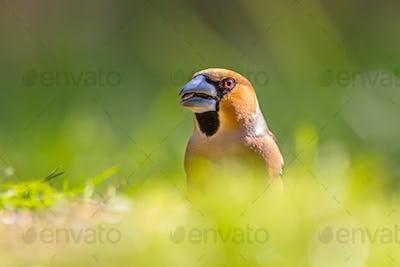 Head of a Hawfinch in a lawn