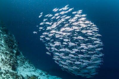 large school of sardines