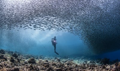 diver in a school of sardines