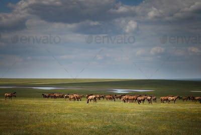 Herd of wild horses in a field