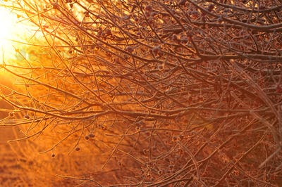 Bush branches at sunrise