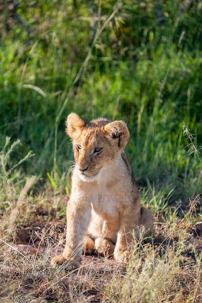 lion cub on the plains Kenya