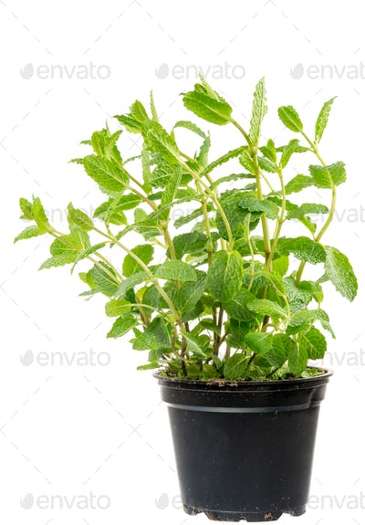 Fresh Mint plant in a flower pot