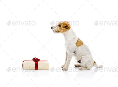 Dog sitting next to Chrismas gift isolated