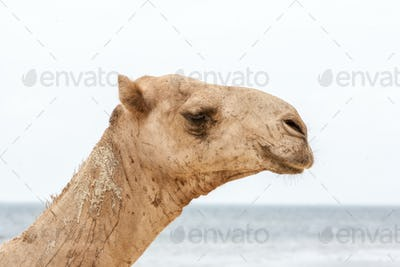 camel resting on the ocean shore.
