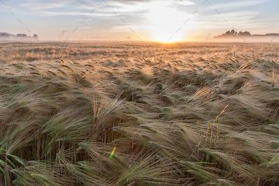 Young wheat growing in green farm field under blue sky