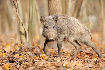 Wild boar in autumn forest