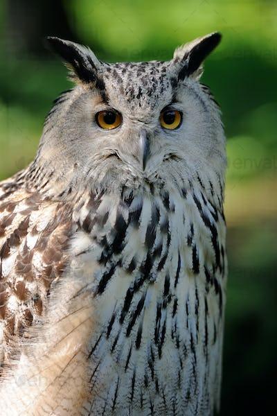 Close-up owl