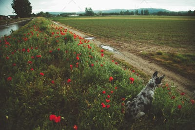 Dog In Poppies Field