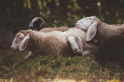 Sheeps Sleeping