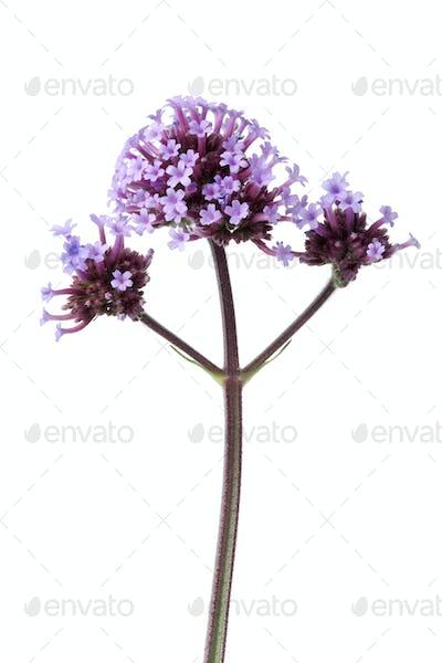 Purple Verbena officinalis flowers