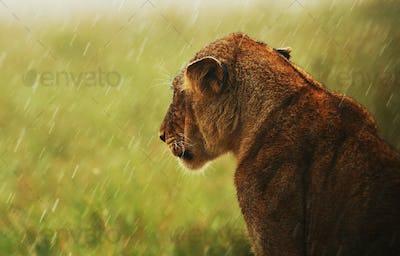 Lioness under rain in the wild