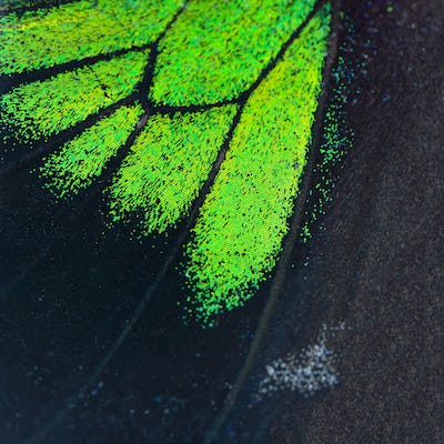 green and black butterfly wing