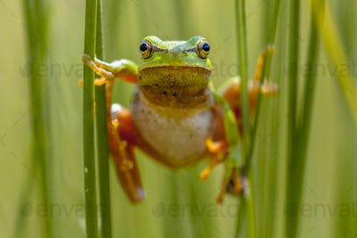 European tree frog frontal view