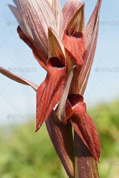 Serapias Vomeracea orchid